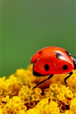 Preview iPhone wallpaper Ladybug yellow flowers