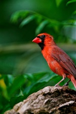 Preview iPhone wallpaper Red feathers of birds