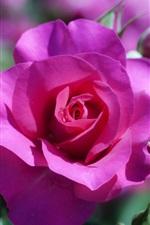 iPhone壁紙のプレビュー 赤いバラと芽のクローズアップ
