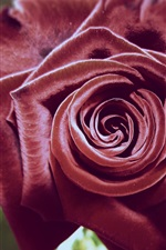 Preview iPhone wallpaper Red roses close-up photography