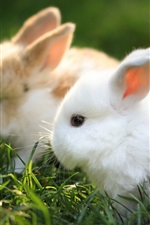 Preview iPhone wallpaper Rodents hare