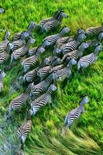 Preview iPhone wallpaper Zebra running in the grasslands