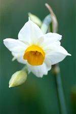 A white daffodil macro close-up