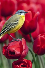 Preview iPhone wallpaper Bird standing on a red tulip flower