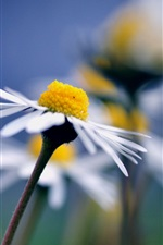 Chamomile close-up, blurred background