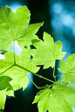 Preview iPhone wallpaper Fresh green leaves of a maple tree close-up