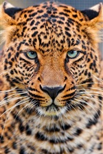 Preview iPhone wallpaper Leopard face HD close-up