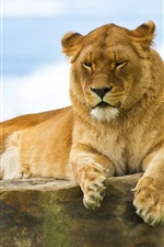 Preview iPhone wallpaper Lion lying on a stone