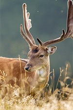 Preview iPhone wallpaper Nature prairie deer