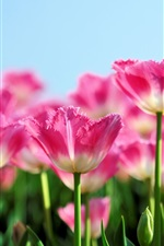 Preview iPhone wallpaper Pink tulip flowers bloom in spring, the blue sky background