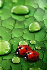 Preview iPhone wallpaper Raindrops on green leaf and ladybug