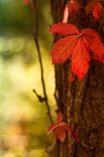 Preview iPhone wallpaper Red leaf macro, blurred background