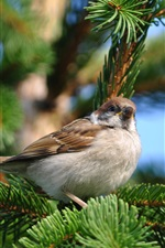 Preview iPhone wallpaper Sparrow spring pine tree