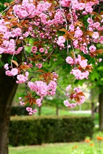 Preview iPhone wallpaper Spring park tree, pink flowers in full bloom