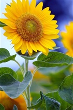Preview iPhone wallpaper Summer sunflower in full bloom