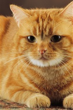 Preview iPhone wallpaper The obedient of orange color cat