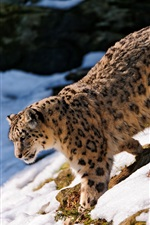 The snow leopard foraging in the snow