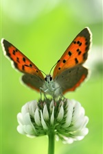 Preview iPhone wallpaper Insect butterfly close-up, white wildflowers in summer