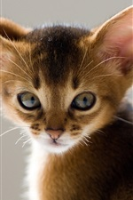 Preview iPhone wallpaper Long ears cat close-up