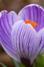 Preview iPhone wallpaper Purple flower crocus close-up