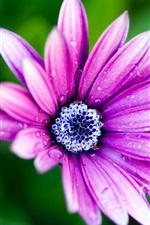 Preview iPhone wallpaper Purple flower petals, blue flower core, morning dew