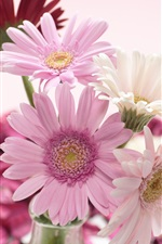 Preview iPhone wallpaper Red, white, pink, gerbera flowers close-up