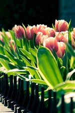 Preview iPhone wallpaper Spring tulips flower close-up, blurred photography