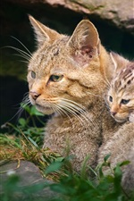 Preview iPhone wallpaper Wildcat motherhood with kitten