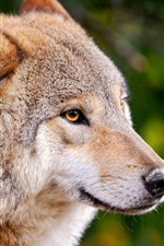 Preview iPhone wallpaper A wolf close-up, a predator