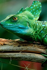 Preview iPhone wallpaper Green lizard, chameleon