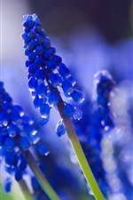 Preview iPhone wallpaper Muscari blue, close-up, blurred photography