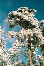 Preview iPhone wallpaper Pine trees frost in snow winter, blue sky