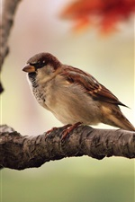 Preview iPhone wallpaper Sparrow close-up photography, background blur