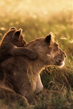 Preview iPhone wallpaper The grasslands lion at sunset