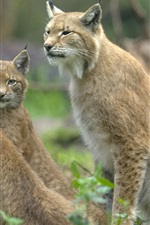 Preview iPhone wallpaper Three wild lynx cat, eyes looking