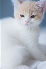 Preview iPhone wallpaper A white cute kitten