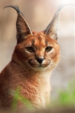 Preview iPhone wallpaper Caracal close-up