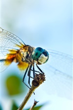 Preview iPhone wallpaper Dragonfly stop on the twig, wings and eyes close-up