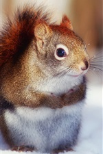 Preview iPhone wallpaper In winter, the cute little squirrel close-up photography