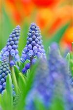 iPhone壁紙のプレビュー ムスカリ、青い花は、写真がぼやけ