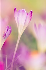 Preview iPhone wallpaper Pink crocuses, blurred background