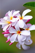 Preview iPhone wallpaper Plumeria flowers macro photography
