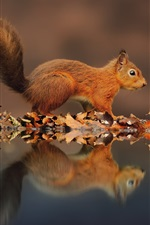 Preview iPhone wallpaper Small squirrel, the reflection in the water, leaves in autumn