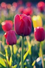 Summer garden tulip, blurred background