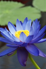 Preview iPhone wallpaper The blue water lilies close-up photography