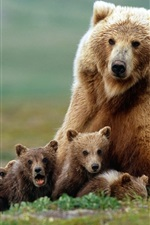 The family photo of the brown bears