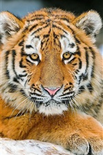 Preview iPhone wallpaper Tiger's face, eyes, claws, close-up
