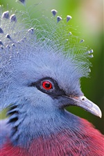 Preview iPhone wallpaper Victoria Crowned Pigeon, blue feathers