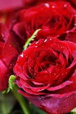 Preview iPhone wallpaper Water droplets flowers red roses close-up