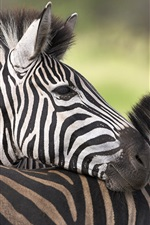 Preview iPhone wallpaper Africa zebra close-up